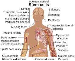 The Many Potential Uses for  Stem Cells